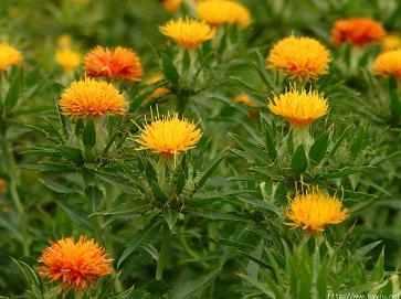 山形の紅花 http://www.naviu.net/benibana/benibana.htm